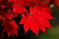 Acer Japonicum 'Vitofolium' (4022286493).jpg
