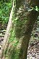 Acer japonicum in Auckland Botanic Gardens 01.jpg