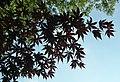 Acer palmatum (Japanese maple tree) 4 (49044027038).jpg