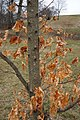 Acer saccharum (Sugar Maple) (32349977374).jpg