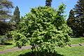Acer wuyuanense - Morris Arboretum - DSC00460.JPG