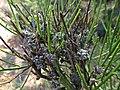 Aceria genistae (Eriophyidae) - (gall), Molenhoek, the Netherlands.jpg