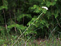 Achillea millefolium 5498607.jpg