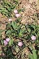 Ackerwinde (Convolvulus arvensis) - Flickr - blumenbiene (1).jpg
