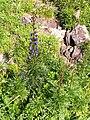 Aconitum napellus plant (07).jpg