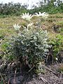 Actinotus helianthi plant3 (8372160866).jpg