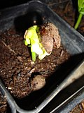 Adansonia Grandidieri Giant Baobab Madagascar Upside Down Tree Germinating Seed From Puerto Rico.jpg