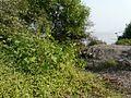 Adavi Dumpa (Telugu- అడవి దుంప) (2959090510).jpg