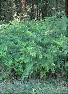 Adelaarsvaren planten Pteridium aquilinum.jpg