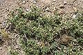 Adesmia echinus.jpg