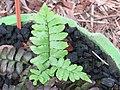 Adiantum latifolium at Periya (2).jpg