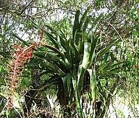 Aechmea-Yucatán.jpg