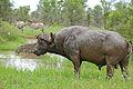 African Buffalo (Syncerus caffer) (16669142616).jpg