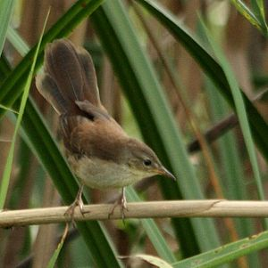 Black-capped donacobius - Little rush warbler (Bradypterus baboecala), apparently one of the closest living relatives of the donacobius