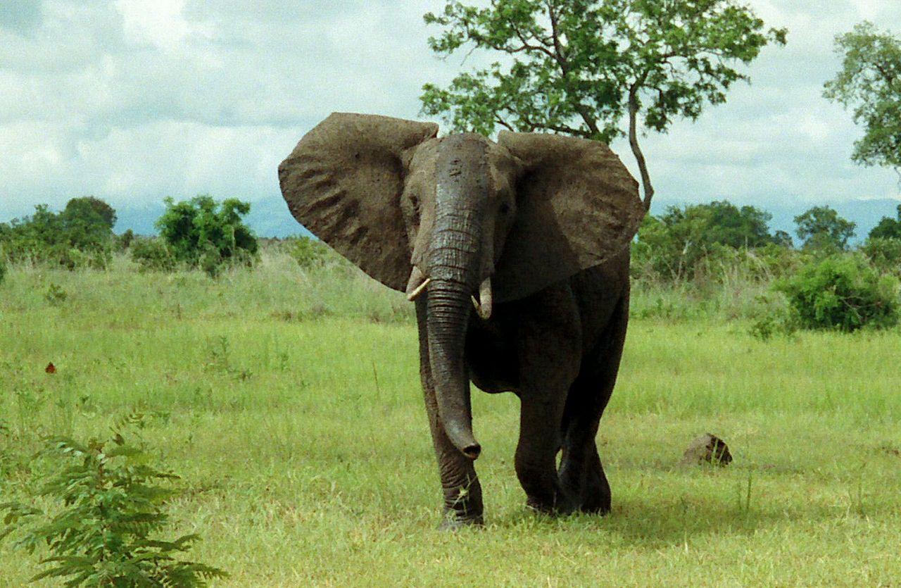 Seekor gajah semak Afrika.