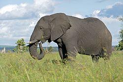 African Elephant (Loxodonta africana) male (16723147361).jpg