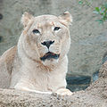 African Lion Panthera leo krugeri Female 2000px.jpg