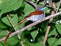 African Paradise-Flycatcher (Terpsiphone viridis) rufous morph (6041360315).jpg