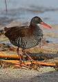 African Rail, Rallus caerulescens at Marievale Nature Reserve, Gauteng, South Africa (20627861613).jpg