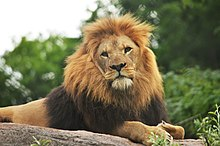 Male African lion Chester