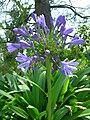 Agapanthus praecox ssp orientalis 01.jpg