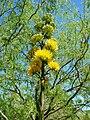Agave-chrysantha-20080330.JPG