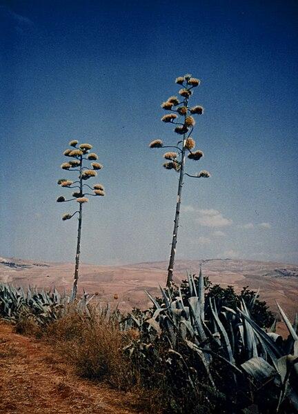 Fichier:Agave americana, Ouled Ali, Algeria - 1972.jpg