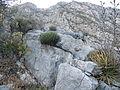 Agave victoriae-reginae (5664119448).jpg