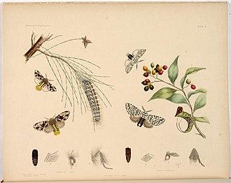 Harriet Morgan - Image: Aglaosoma lauta & Cerura Australis 1864 Scott a 705020