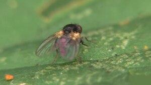File:Agromyza - 2013-07-25.webm