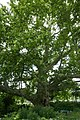 Ahornblättrige Platane Doblhoffpark 03.jpg