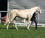 Akgez Geli, cremello Akhal Teke colt 2009 at World Championship in Moscow3.jpg