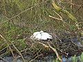 Alarch yn deori. Swan incubating - geograph.org.uk - 402183.jpg