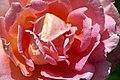 Albania-02695 - Albanian Rose... (10797119245).jpg