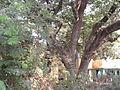 Albizia saman (Raintree) (4).jpg