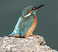 Alcedo atthis - Common Kingfisher - Yalıçapkını 04.jpg
