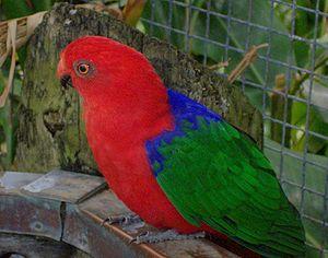 Moluccan king parrot - Nominate subspecies at Brevard Zoo, Florida, USA