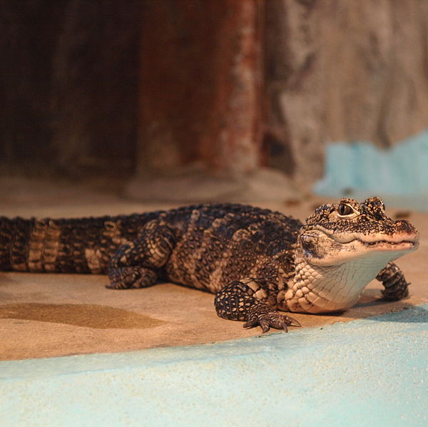 600px-Alligator_sinensis_by_OpenCage