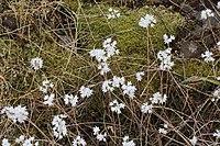 Allium amplectens 0061