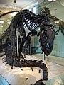 Allosaurus skeleton 2.jpg