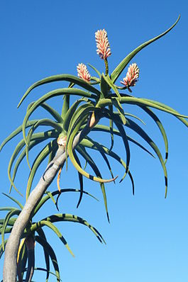 Aloe barberae bainesii Tree Aloe South Africa.JPG