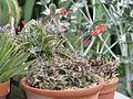 Aloe descoingsii (20101987551).jpg