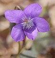 Alpine Violet Viola labradorica Flower Closeup 1456px.jpg