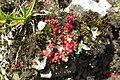 Alpine flora - a sedum (Gru) (37738658072).jpg