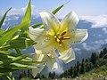 Alpine flower.jpg