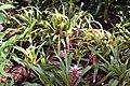 Alpinia purpurata Eileen McDonald 1zz.jpg
