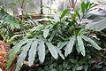 Alpinia tonrokuensis - Botanischer Garten, Dresden, Germany - DSC08516.JPG