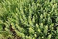 Alyssum simplex kz09.jpg