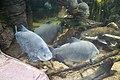 Amazonian fish (40515654452).jpg