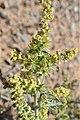 Ambrosia acanthicarpa kz06.jpg